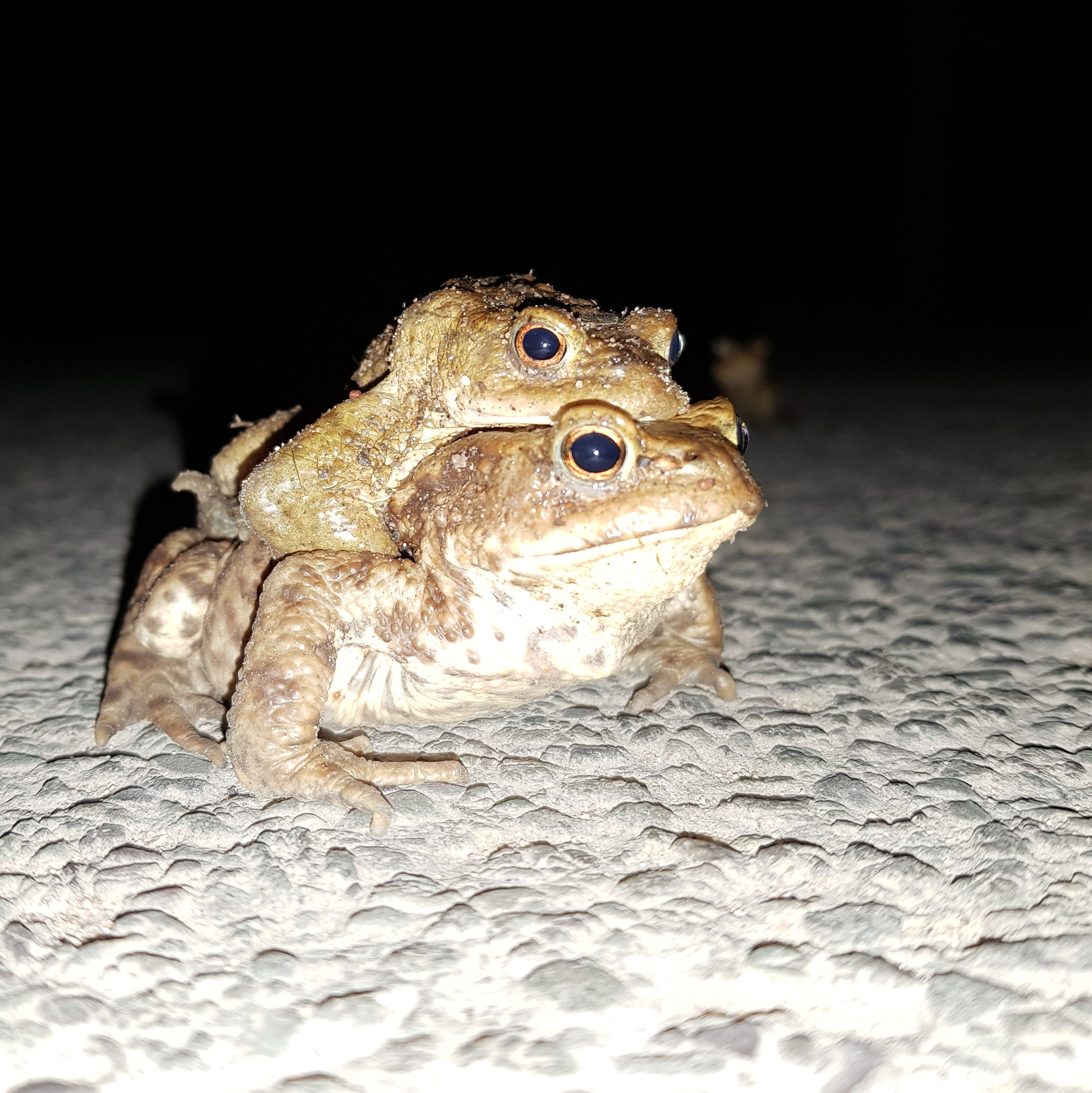 Two toads piggybacking at night with one toad watching in the distance